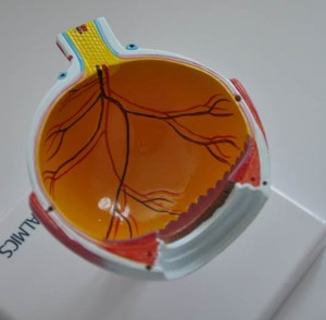 Auge Modell